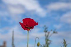 Blühende Mohnblume gegen blauen Himmel Stockbilder