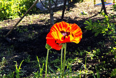 Blühende Mohnblume im Garten Stockfotos
