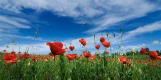 blühende Mohnblumen des Rotes im Sommer auf einem grünen Feld gegen einen blauen Himmel Von unterhalb geschossen lizenzfreie stockfotografie