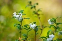 Blühende Moosbeeren Stockfotos