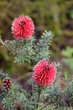 Blühende Myrtaceae-Spezies Stockfoto