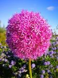 Blühende Nahaufnahme der purpurroten Blume des Frühlinges mit blauem Himmel Stockfotografie