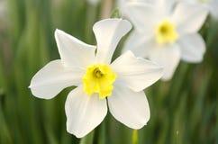 Blühende Narzisse im Garten am Frühjahr Lizenzfreie Stockfotografie