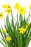 Blühende Narzissenblumen Stockfoto