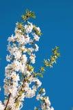 Blühende Niederlassung auf einem Hintergrund des blauen Himmels Lizenzfreies Stockfoto