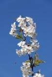 Blühende Niederlassung auf einem Hintergrund des blauen Himmels Stockfoto