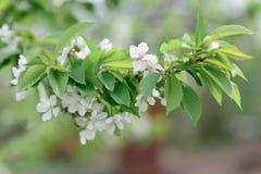 Blühende Niederlassung der Aprikose Stockbild