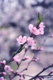 Blühende Niederlassung der Pflaume mit Blatt Stockfotos