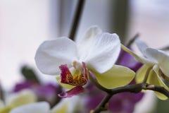 Blühende Niederlassung der schönen weißen Orchideenblume mit gelber Mitte lokalisierte Nahaufnahmemakro Stockbilder