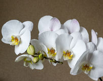 Blühende Niederlassung der weißen Orchidee Stockfotografie