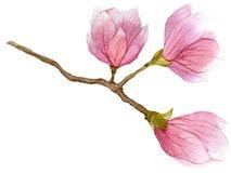 Blühende Niederlassung des Aquarells des Magnolienbaums mit drei Blumen Hand gezeichnete botanische Illustration Lizenzfreies Stockfoto