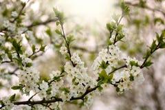 Blühende Niederlassung des Baums mit weißen Blumen im Sonnenlicht lizenzfreie stockbilder