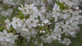 Blühende Niederlassung des Birnen-Baums stock video