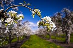Blühende Niederlassung des Blütenstands in einem Obstgarten stockbild