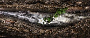 Blühende Niederlassung des Frühlinges der Kirsche blüht auf einer Baumrinde Dramat Stockfoto