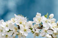 Blühende Niederlassung des Kirschbaums mit Weiß blüht Nahaufnahme Lizenzfreie Stockfotografie