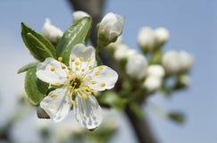 Blühende Niederlassung des Obstbaumes über Hintergrund des blauen Himmels Lizenzfreie Stockbilder