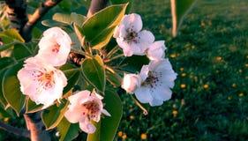 Blühende Niederlassung einer Birne im Frühjahr Stockfotos