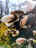 Blühende Niederlassung einer Magnolie, empfindliche rosa Magnolie Lizenzfreie Stockfotografie
