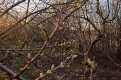 Blühende Niederlassung eines Apfelbaums im Frühjahr in den Strahlen einer Sonnenuntergangnahaufnahme stockbilder