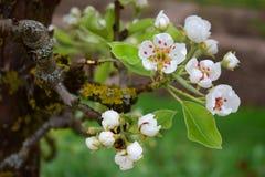 Blühende Niederlassung eines Birnenbaums Lizenzfreie Stockfotografie