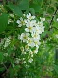 Blühende Niederlassung mit Blumen der Vogelkirsche Lizenzfreie Stockfotos