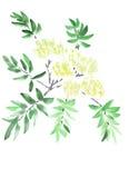 Blühende Niederlassung mit den gelben und weißen Blumen auf einem weißen Hintergrund watercolor Stockfoto
