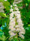 Blühende Niederlassungen der Kastanie (Aesculus hippocastanum) Stockfotografie