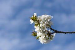 Blühende Niederlassungen der Kirsche gegen den blauen Himmel Lizenzfreies Stockbild