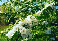 Blühende Niederlassungen der wilden Birne an einem hellen sonnigen Tag Lizenzfreies Stockfoto