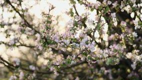 Blühende Niederlassungen des Apfelbaums stock video footage