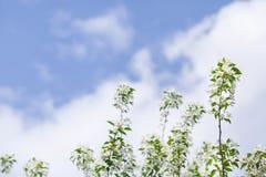 Blühende Niederlassungen des Apfelbaums auf Himmelhintergrund Lizenzfreie Stockbilder