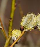Blühende Niederlassungen des Frühlinges der Weide Stockbilder