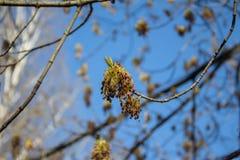 Blühende Niederlassungen des Frühlinges eines Baums Lizenzfreies Stockbild
