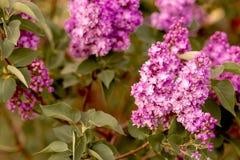 Blühende Niederlassungen des Gartens der Flieder im Frühjahr lizenzfreie stockfotografie