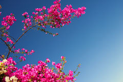 Blühende Niederlassungen des rosa Bouganvillas auf einem Hintergrund des blauen Himmels Lizenzfreies Stockfoto