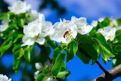 Blühende Niederlassungen des wilden Birnenbaums mit der Biene auf den Blumen Stockbild