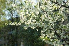 Blühende Niederlassungen eines Apfelbaums lizenzfreie stockfotografie