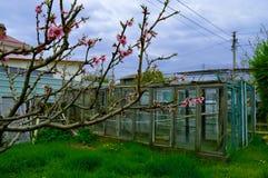 Blühende Niederlassungen eines Pfirsichbaums Stockfotografie