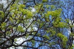 Blühende Niederlassungen von Acer-platanoides gegen den Himmel Stockfotografie