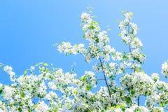 Blühende Niederlassungen von Apfelbäumen auf einem Hintergrund des sonnigen Tages des blauen Himmels Stockbild