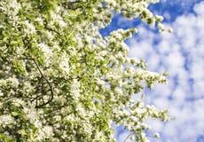Blühende Niederlassungen von Apfelbäumen gegen den blauen Himmel Lizenzfreie Stockfotografie