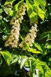 Blühende Niederlassungen von Kastanienbaum Aesculus hippocastanum Lizenzfreie Stockfotografie