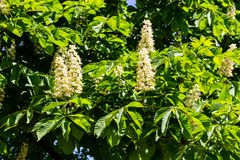 Blühende Niederlassungen von Kastanienbaum Aesculus hippocastanum Lizenzfreie Stockfotos