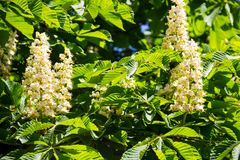 Blühende Niederlassungen von Kastanienbaum Aesculus hippocastanum Stockfotos