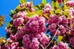 Blühende Niederlassungen von Kirschblüte Stockfoto