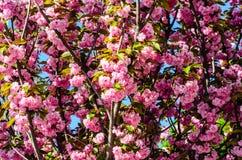 Blühende Niederlassungen von Kirschblüte Stockbilder