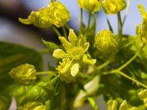 Blühende Norwegen-Ahorn oder Acer-platanoides, Blumen mit unscharfem Hintergrundmakro, selektiver Fokus, flacher DOF Stockbilder