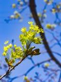 Blühende Norwegen-Ahorn oder Acer-platanoides, Blumen mit unscharfem Hintergrundmakro, selektiver Fokus, flacher DOF Stockfotografie