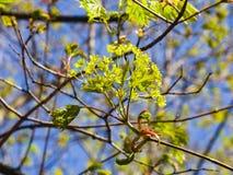 Blühende Norwegen-Ahorn oder Acer-platanoides, Blumen mit unscharfem Hintergrundmakro, selektiver Fokus, flacher DOF Stockfotos